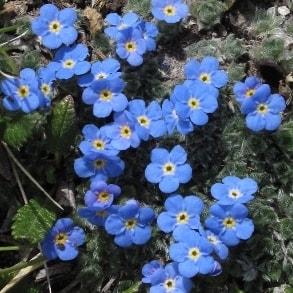 blue wildflowers growing