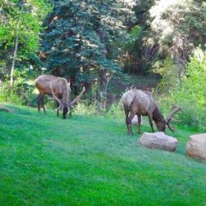 Elk eating grass by the Inn