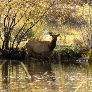 Elk crossing the river