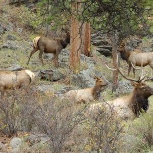 elk resting near the Inn