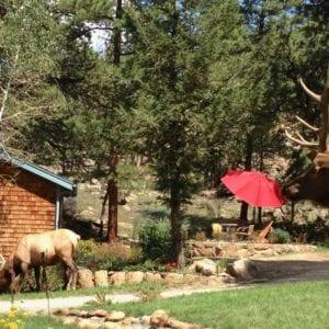 Elk roaming the property