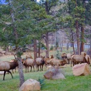 Elk graze in the meadows in fall