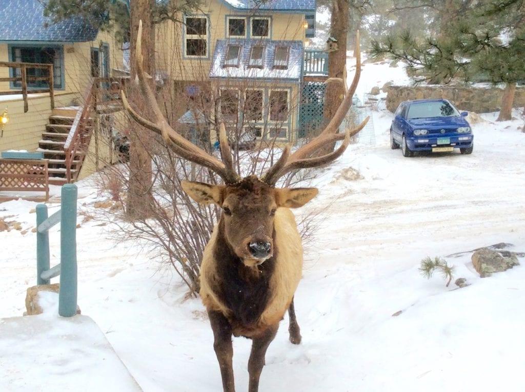 Elk near the Inn in winter
