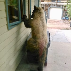 Bear peeking in the window