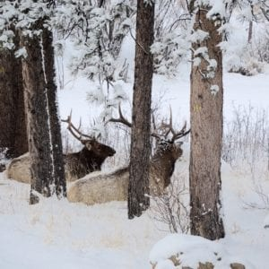 two Elk in the winter