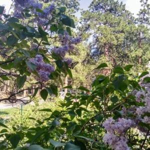 bushes in bloom